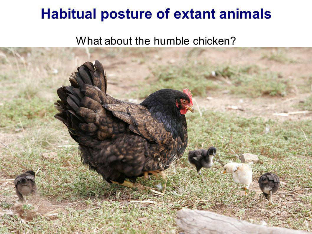 Habitual posture of extant animals What about the humble chicken?