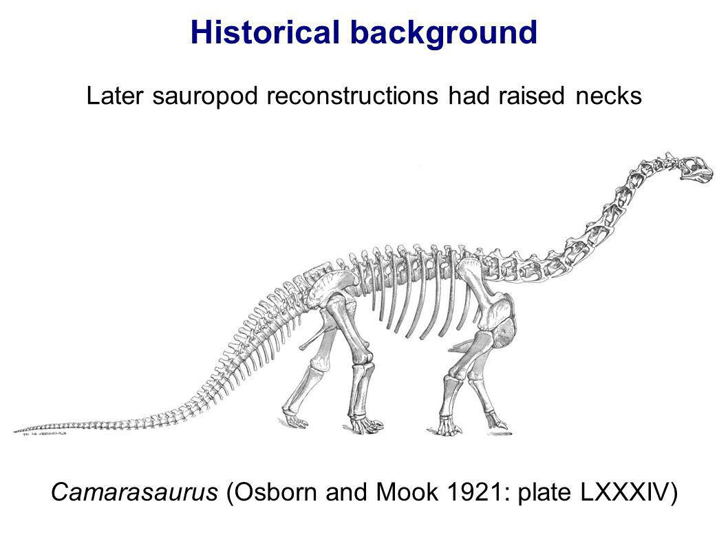 Historical background Later sauropod reconstructions had raised necks Camarasaurus (Osborn and Mook 1921: plate LXXXIV)