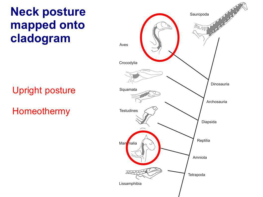 Neck posture mapped onto cladogram Upright posture Homeothermy