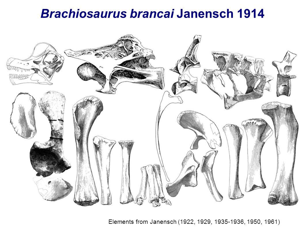 Brachiosaurus brancai Janensch 1914 Elements from Janensch (1922, 1929, 1935-1936, 1950, 1961)