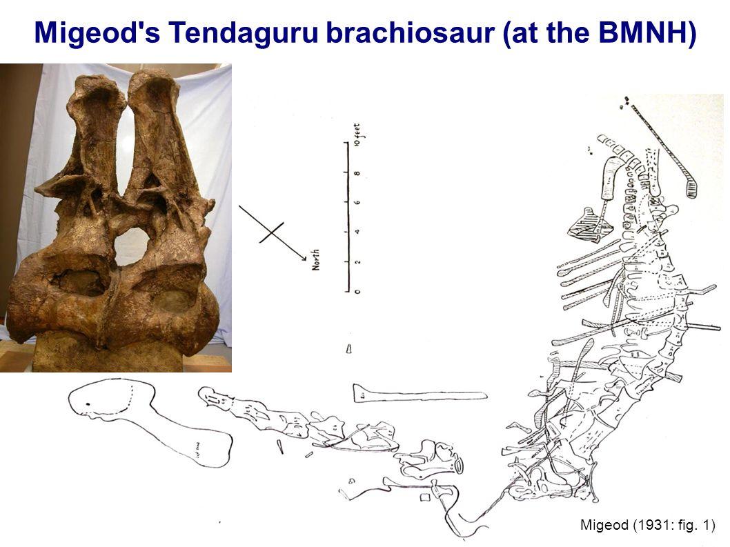 Migeod's Tendaguru brachiosaur (at the BMNH) Migeod (1931: fig. 1)