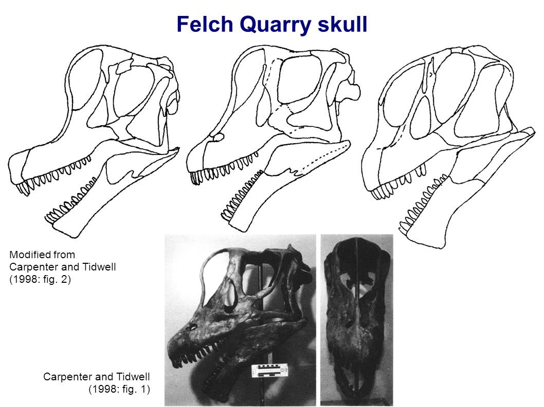 Felch Quarry skull Modified from Carpenter and Tidwell (1998: fig.