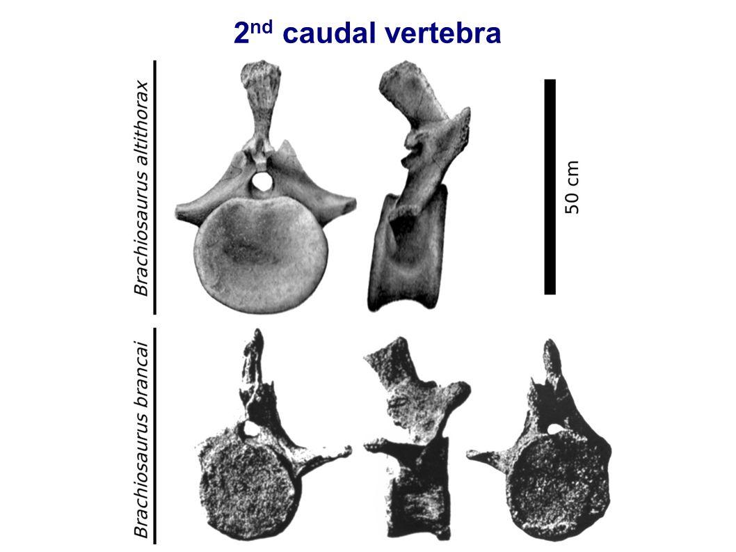 2 nd caudal vertebra
