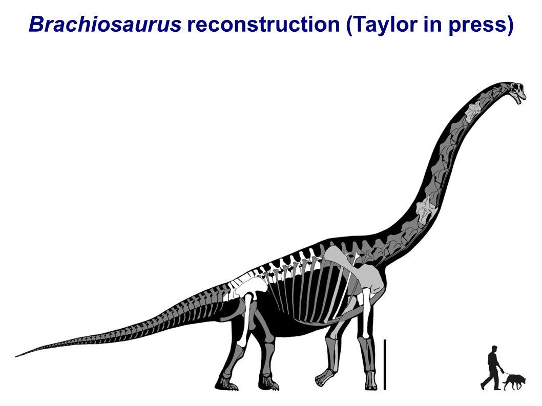 Brachiosaurus reconstruction (Taylor in press)