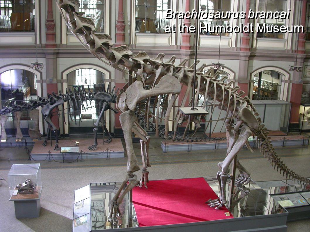 Brachiosaurus brancai at the Humboldt Museum Brachiosaurus brancai at the Humboldt Museum