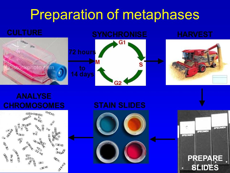 Preparation of metaphases CULTURE SYNCHRONISEHARVEST PREPARE SLIDES STAIN SLIDES ANALYSE CHROMOSOMES 72 hours to 14 days