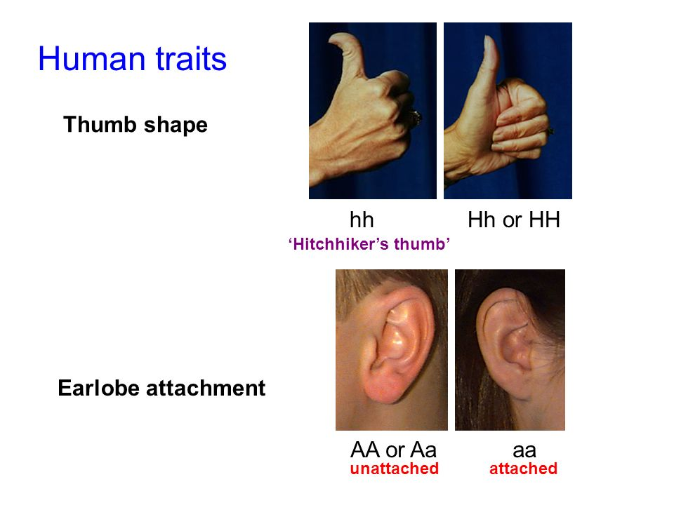 Thumb shape Earlobe attachment Human traits hhHh or HH Hitchhikers thumb AA or Aaaa unattached attached
