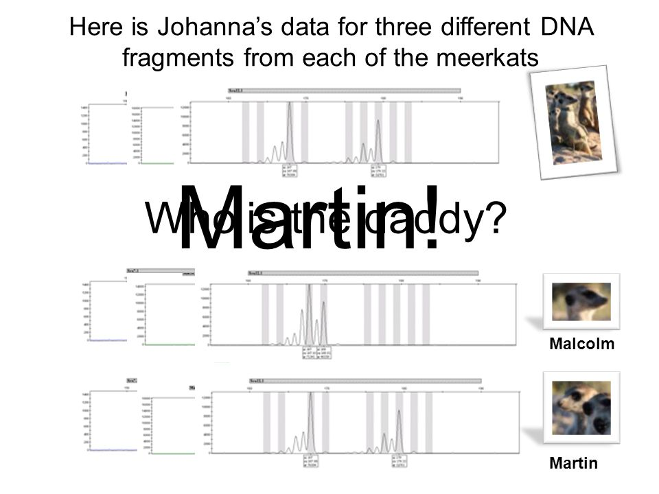 Here is Johannas data for three different DNA fragments from each of the meerkats Malcolm Martin Who is the daddy? Martin!