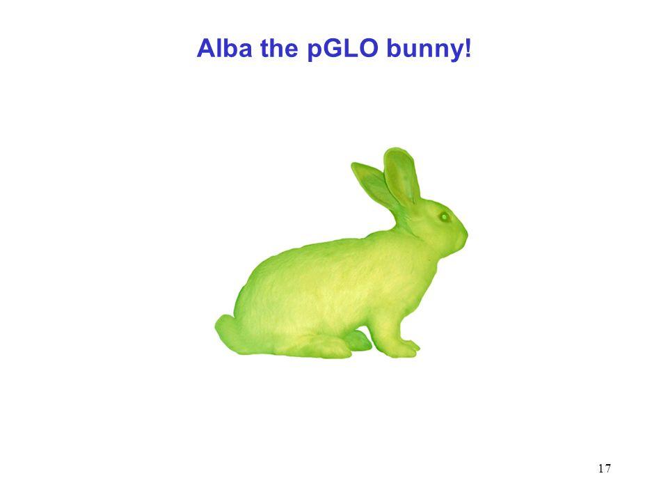17 Alba the pGLO bunny!