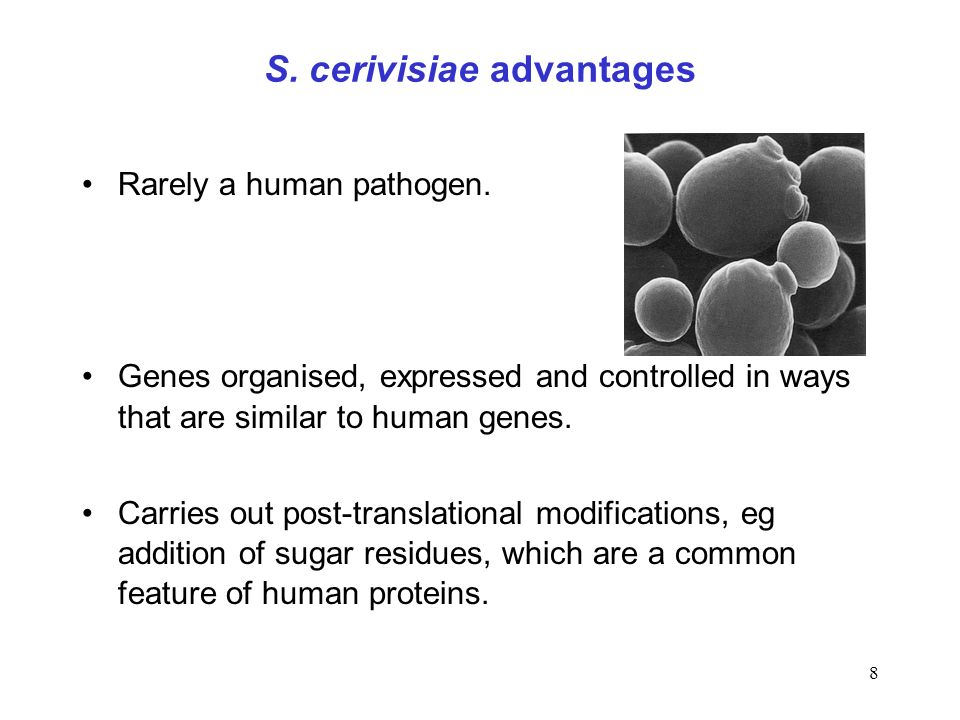 8 S. cerivisiae advantages Rarely a human pathogen. Genes organised, expressed and controlled in ways that are similar to human genes. Carries out pos