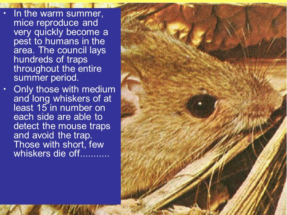 In the warm summer, mice reproduce and very quickly become a pest to humans in the area.