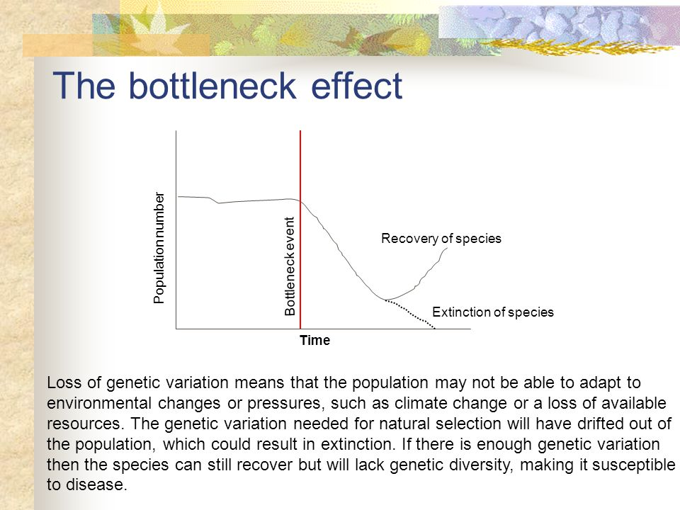 The bottleneck effect Loss of genetic variation means that the population may not be able to adapt to environmental changes or pressures, such as clim