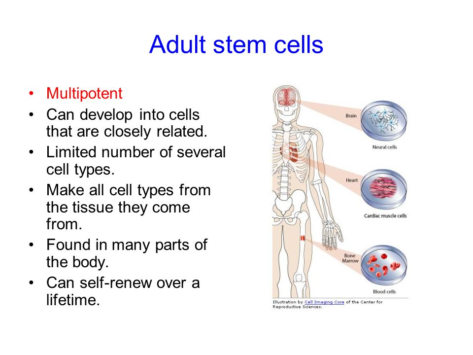 Focus questions What is the unique property of stem cells which makes them different from a specialised cell?