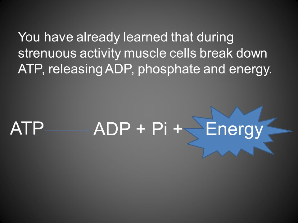You have already learned that during strenuous activity muscle cells break down ATP, releasing ADP, phosphate and energy. ATP ADP + Pi + Energy