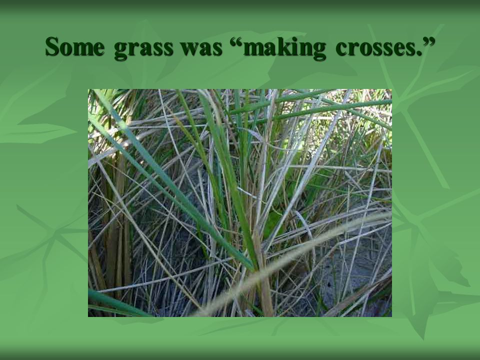 Some grass was making crosses.