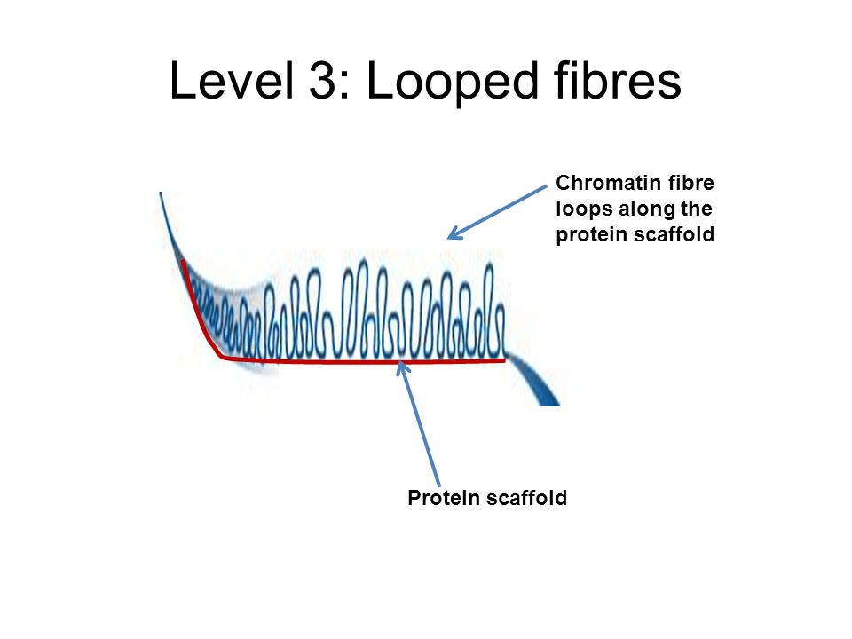Level 3: Looped fibres Protein scaffold Chromatin fibre loops along the protein scaffold