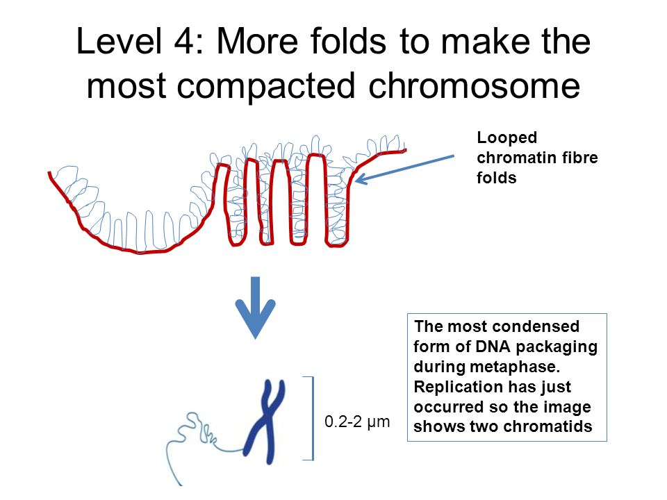 Level 4: More folds to make the most compacted chromosome 0.2-2 µm Looped chromatin fibre folds The most condensed form of DNA packaging during metaph