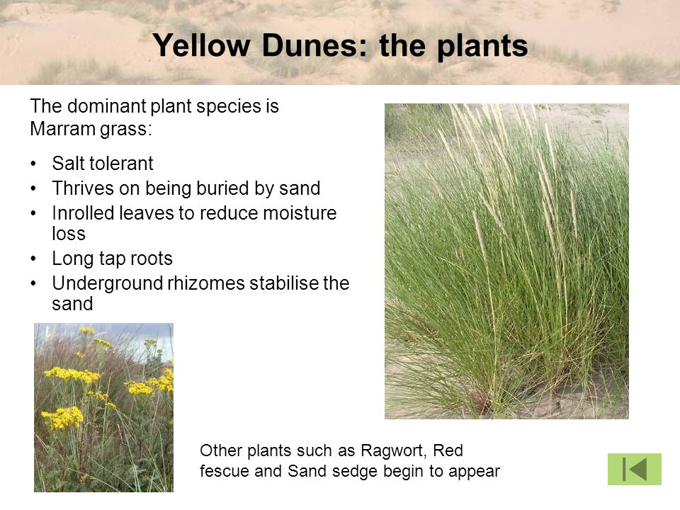 Yellow Dunes: the plants Salt tolerant Thrives on being buried by sand Inrolled leaves to reduce moisture loss Long tap roots Underground rhizomes stabilise the sand Other plants such as Ragwort, Red fescue and Sand sedge begin to appear The dominant plant species is Marram grass: