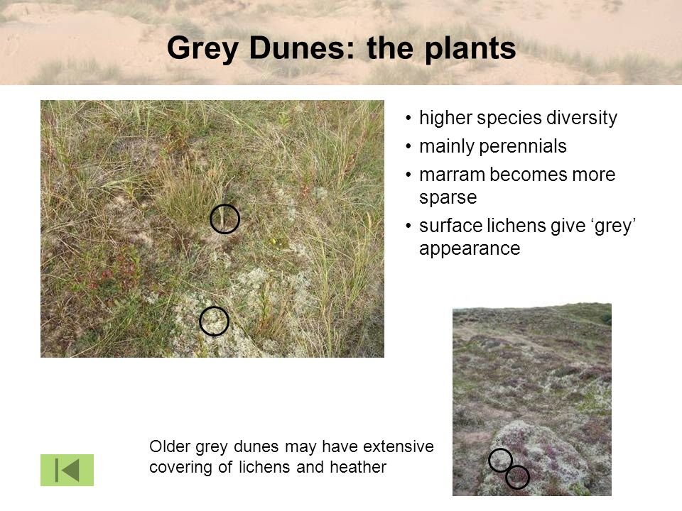 Grey Dunes: the plants Older grey dunes may have extensive covering of marram becomes more sparse mainly perennials higher species diversity lichens and heather surface lichens give grey appearance