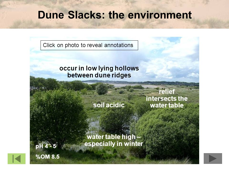 Dune Slacks: the environment pH 4 - 5 %OM 8.5 relief intersects the water table water table high – especially in winter soil acidic occur in low lying hollows between dune ridges Click on photo to reveal annotations