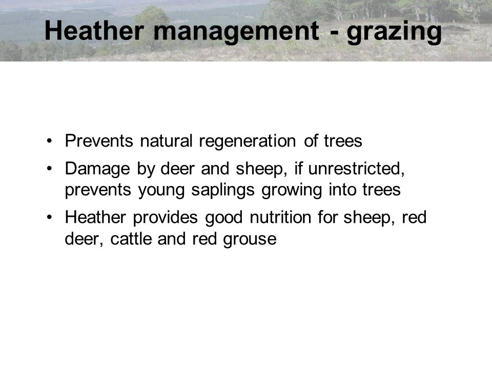 Heather management - grazing Prevents natural regeneration of trees Damage by deer and sheep, if unrestricted, prevents young saplings growing into tr