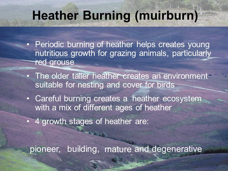 Heather Burning (muirburn) Periodic burning of heather helps creates young nutritious growth for grazing animals, particularly red grouse The older ta