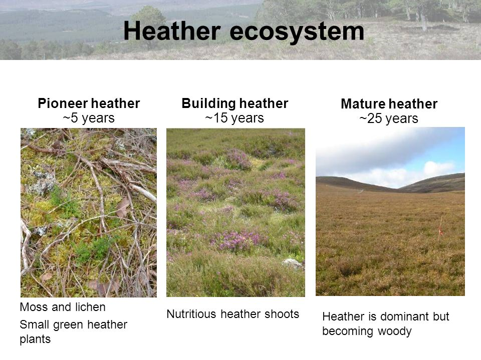 Building heather ~15 years Mature heather ~25 years Moss and lichen Small green heather plants Nutritious heather shoots Heather is dominant but becom