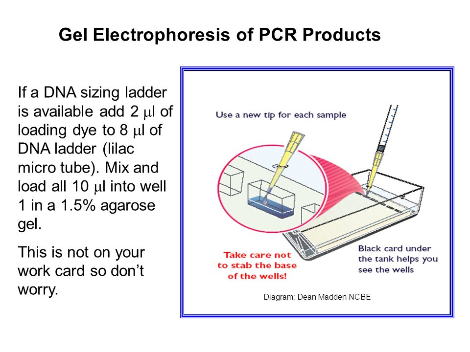 Gel Electrophoresis of PCR Products If a DNA sizing ladder is available add 2 l of loading dye to 8 l of DNA ladder (lilac micro tube).