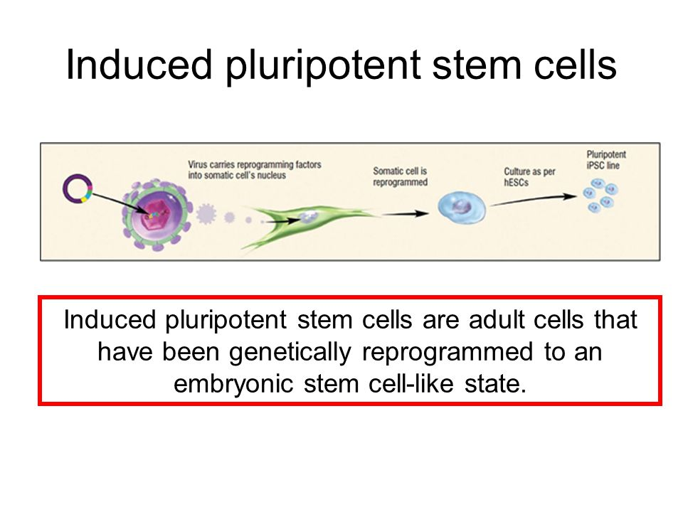 Induced pluripotent stem cells Induced pluripotent stem cells are adult cells that have been genetically reprogrammed to an embryonic stem cell-like s