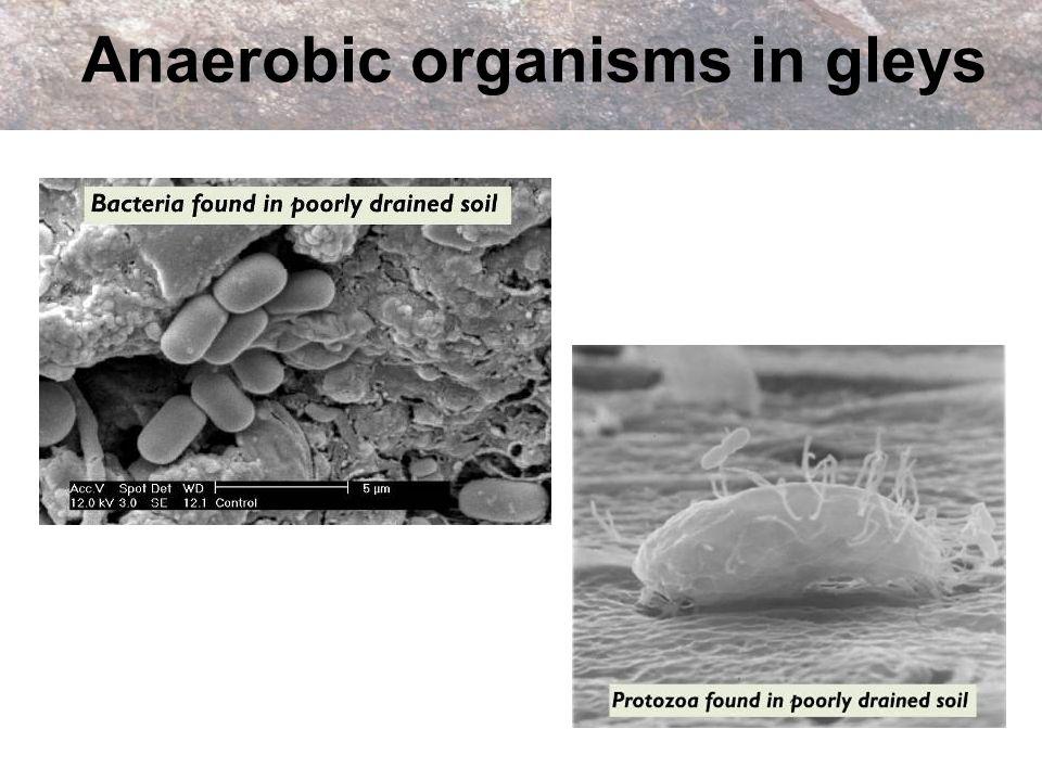 Anaerobic organisms in gleys