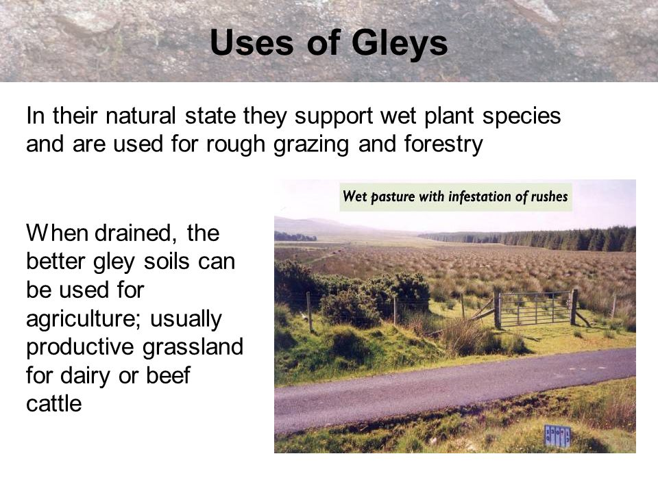 Uses of Gleys When drained, the better gley soils can be used for agriculture; usually productive grassland for dairy or beef cattle In their natural