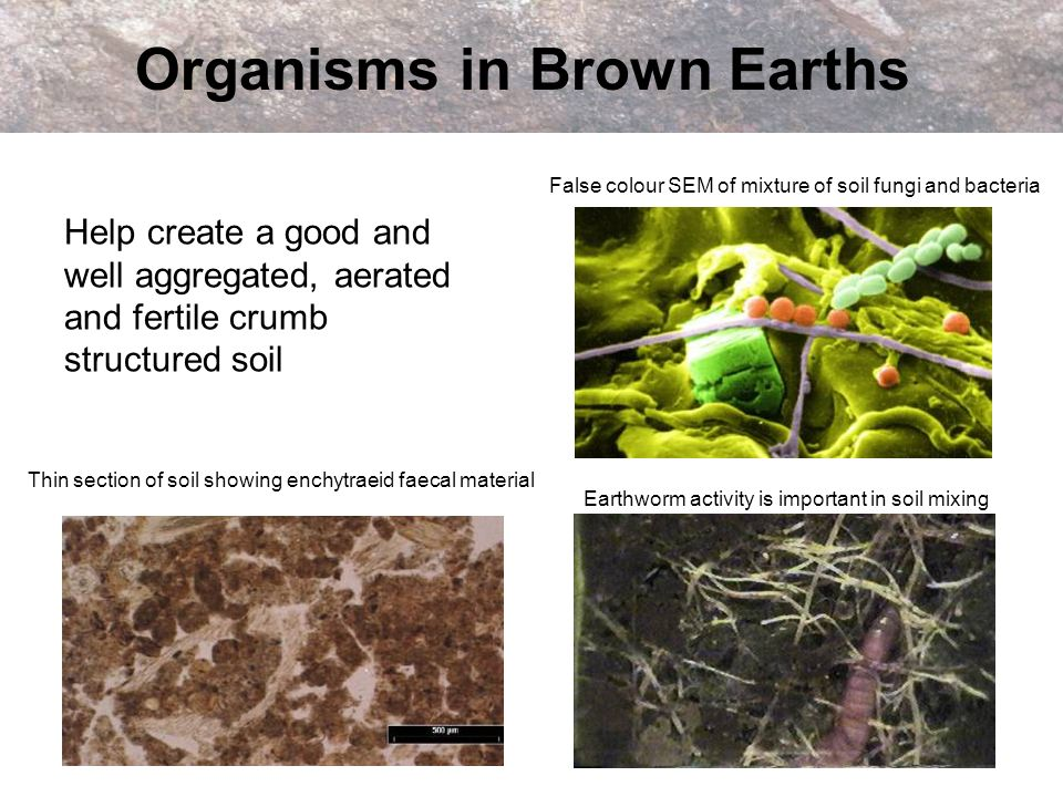 Uses of Brown Earths Amongst the most fertile soils in Scotland Used extensively for agriculture e.g.