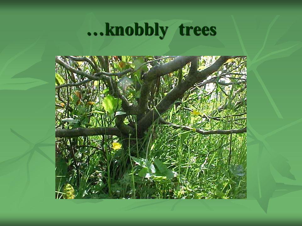 …knobbly trees
