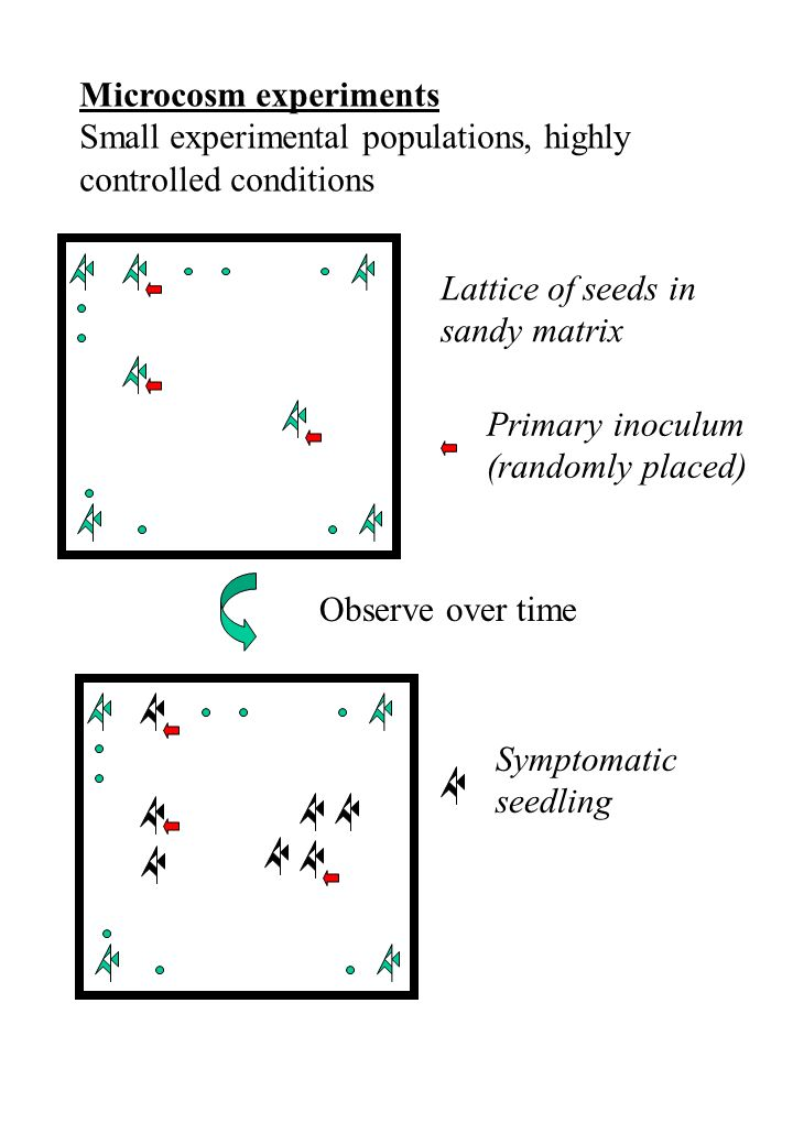 Microcosm experiments Small experimental populations, highly controlled conditions Lattice of seeds in sandy matrix Observe over time Primary inoculum