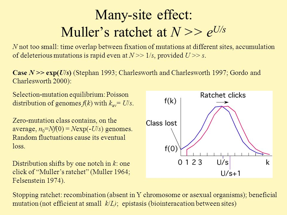 Many-site effect: Mullers ratchet at N >> e U/s N not too small: time overlap between fixation of mutations at different sites, accumulation of deleterious mutations is rapid even at N >> 1/s, provided U >> s.