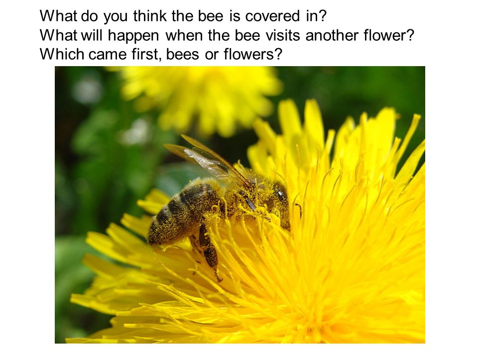 What do you think the bee is covered in? What will happen when the bee visits another flower? Which came first, bees or flowers?