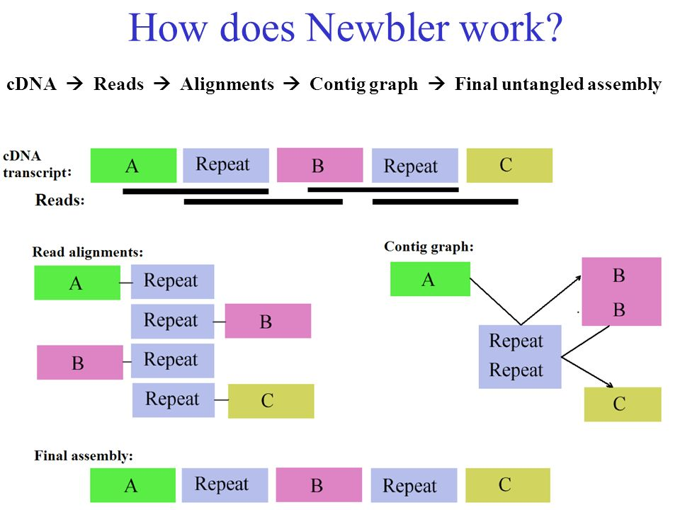 How does Newbler work? cDNA Reads Alignments Contig graph Final untangled assembly