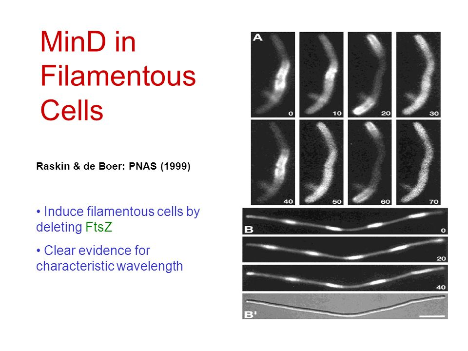 MinD in Filamentous Cells Raskin & de Boer: PNAS (1999) Induce filamentous cells by deleting FtsZ Clear evidence for characteristic wavelength