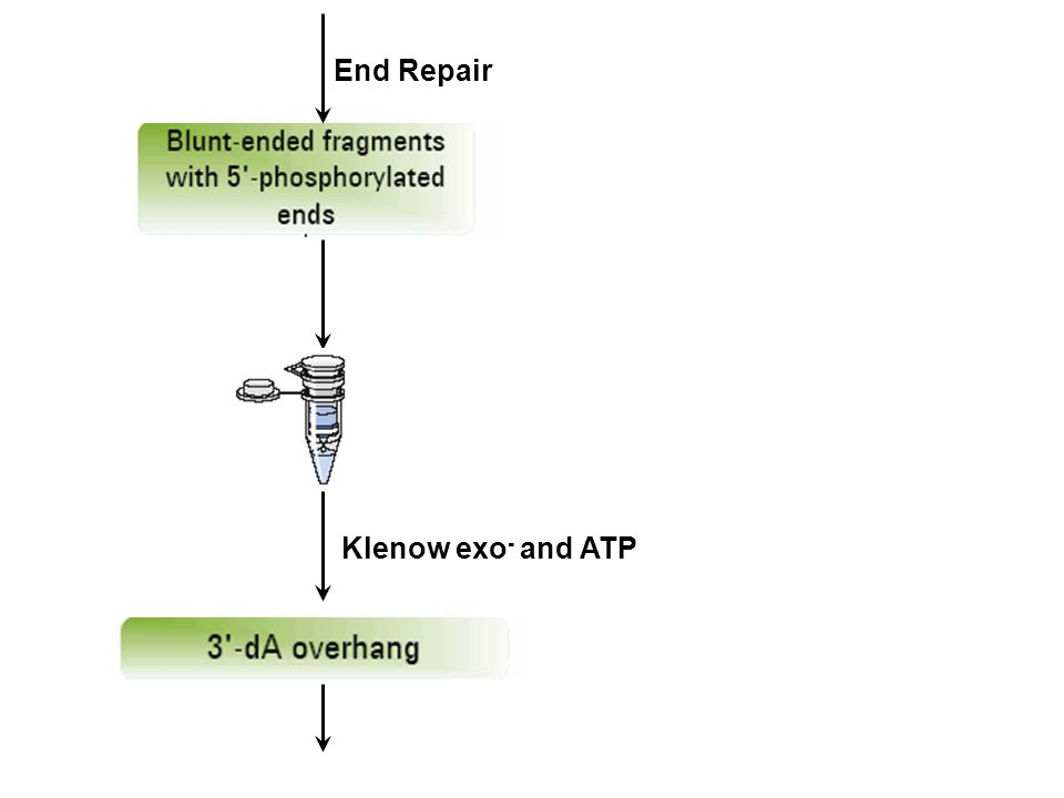End Repair Klenow exo - and ATP