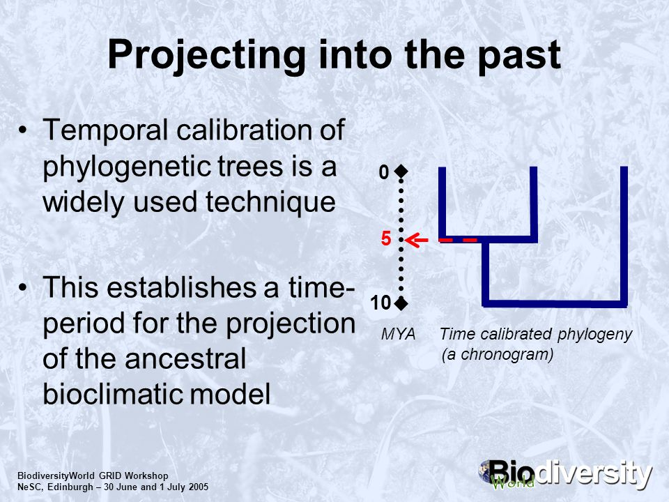 BiodiversityWorld GRID Workshop NeSC, Edinburgh – 30 June and 1 July 2005 Projecting into the past Temporal calibration of phylogenetic trees is a wid