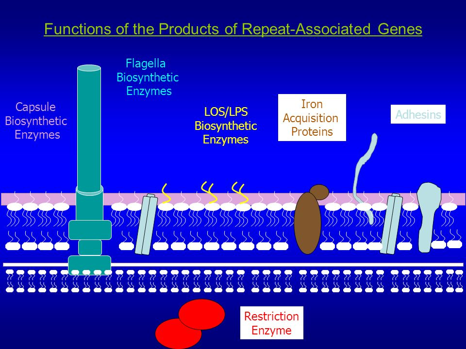 Functions of the Products of Repeat-Associated Genes Adhesins LOS/LPS Biosynthetic Enzymes Iron Acquisition Proteins Capsule Biosynthetic Enzymes Restriction Enzyme Flagella Biosynthetic Enzymes