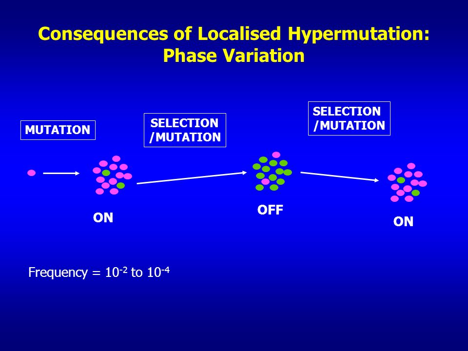 Consequences of Localised Hypermutation: Phase Variation ON OFF ON Frequency = 10 -2 to 10 -4 SELECTION /MUTATION SELECTION /MUTATION MUTATION