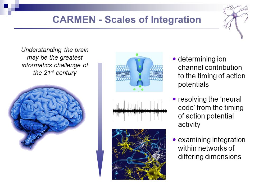 CARMEN - Scales of Integration resolving the neural code from the timing of action potential activity determining ion channel contribution to the timing of action potentials examining integration within networks of differing dimensions Understanding the brain may be the greatest informatics challenge of the 21 st century