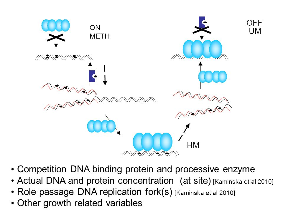 HM OFF UM ON METH Competition DNA binding protein and processive enzyme Actual DNA and protein concentration (at site) [Kaminska et al 2010] Role passage DNA replication fork(s) [Kaminska et al 2010] Other growth related variables