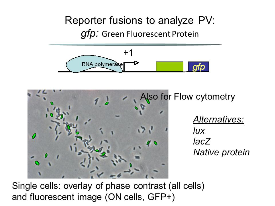 Single cells: overlay of phase contrast (all cells) and fluorescent image (ON cells, GFP+) Reporter fusions to analyze PV: gfp: Green Fluorescent Protein Alternatives: lux lacZ Native protein Also for Flow cytometry