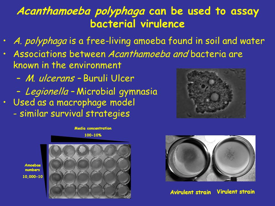 Acanthamoeba polyphaga can be used to assay bacterial virulence A. polyphaga is a free-living amoeba found in soil and water Associations between Acan