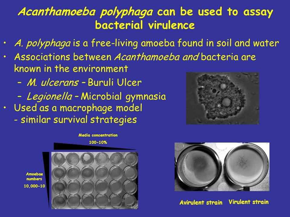 Acanthamoeba polyphaga can be used to assay bacterial virulence A.