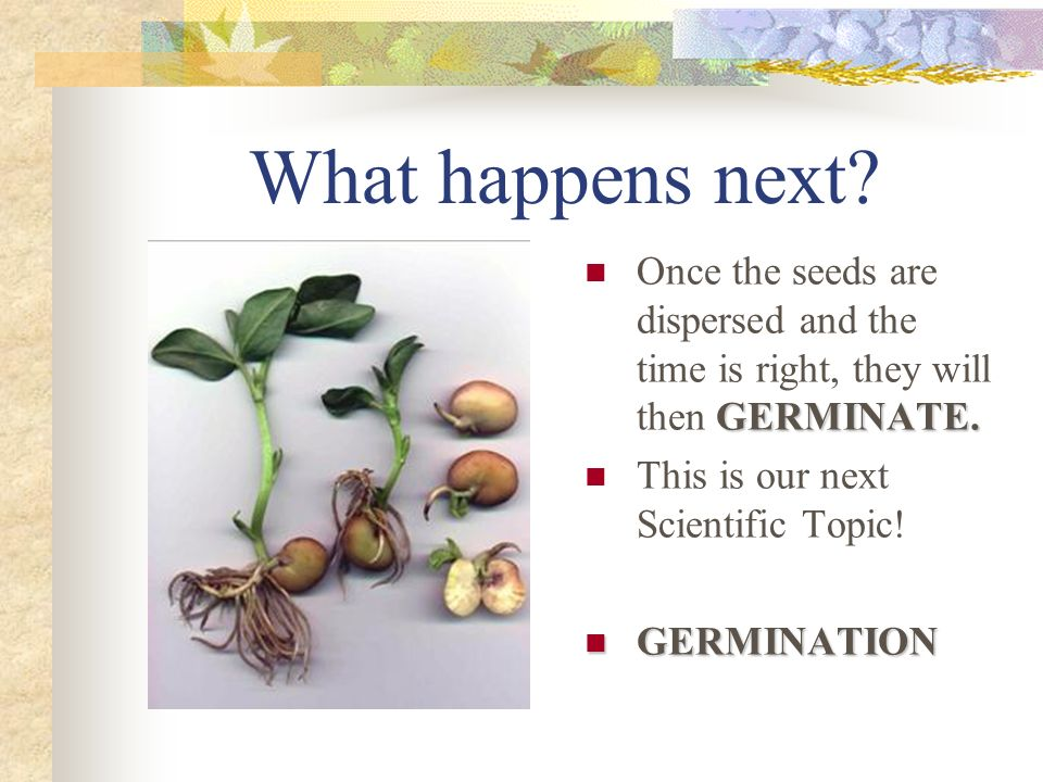 What happens next? GERMINATE. Once the seeds are dispersed and the time is right, they will then GERMINATE. This is our next Scientific Topic! GERMINA