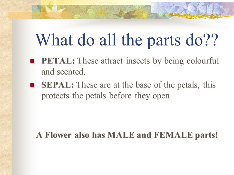 What do all the parts do?? PETAL: PETAL: These attract insects by being colourful and scented. SEPAL: SEPAL: These are at the base of the petals, this