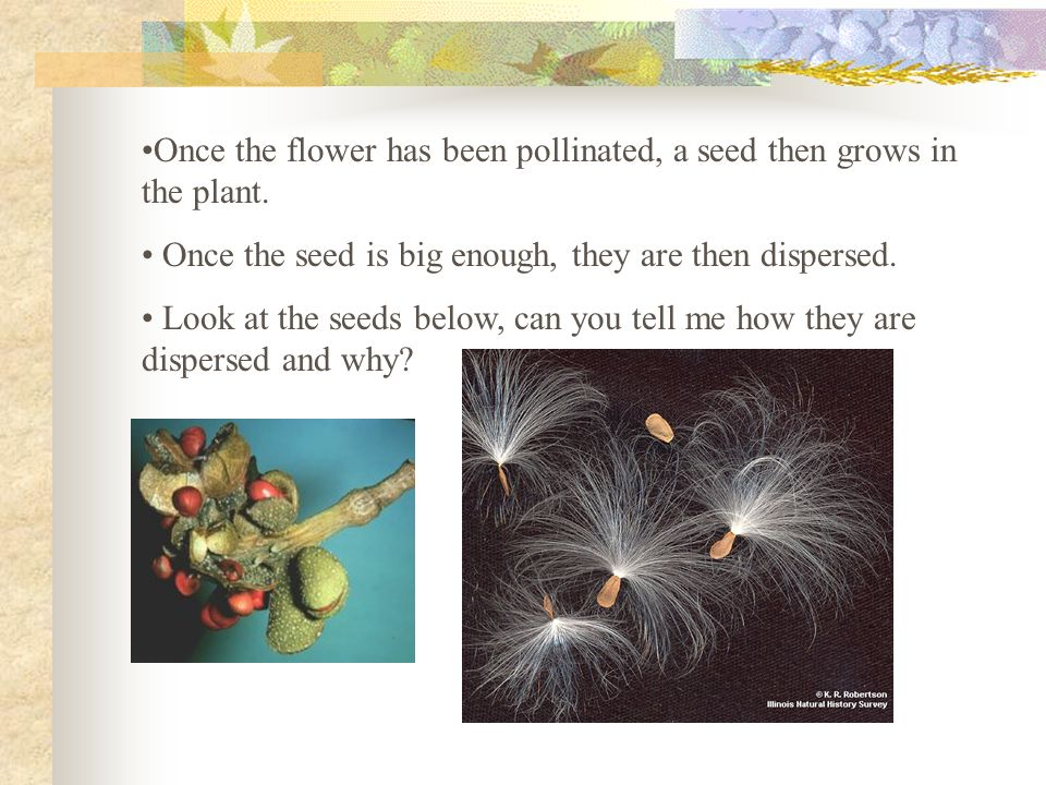Once the flower has been pollinated, a seed then grows in the plant. Once the seed is big enough, they are then dispersed. Look at the seeds below, ca